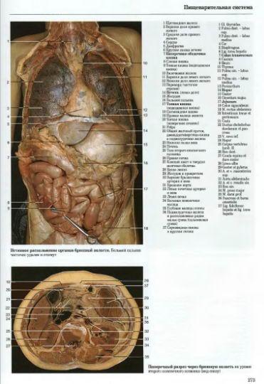 Сосуды органов брюшной полости